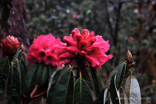 bunga Laliguran (bahasa lokal)